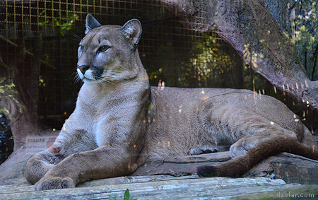 Kakak Puma yang Cantik