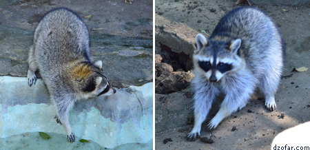 Racoon Batu Secret Zoo