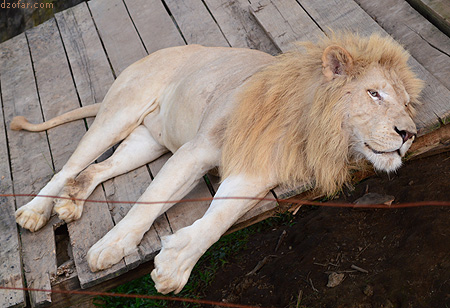 Singa Batu Secet Zoo