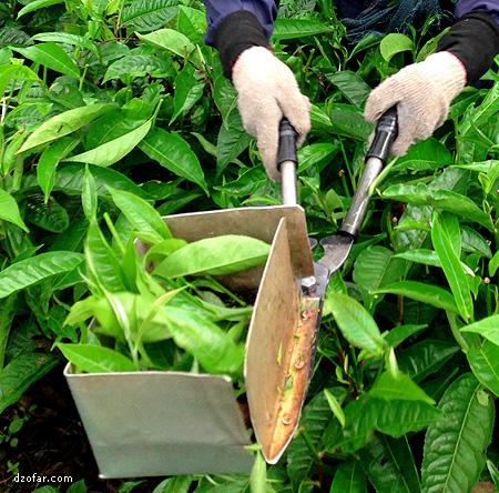 Alat pemotong pucuk daun teh