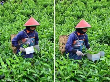 Ibu-ibu cantik pemotong teh