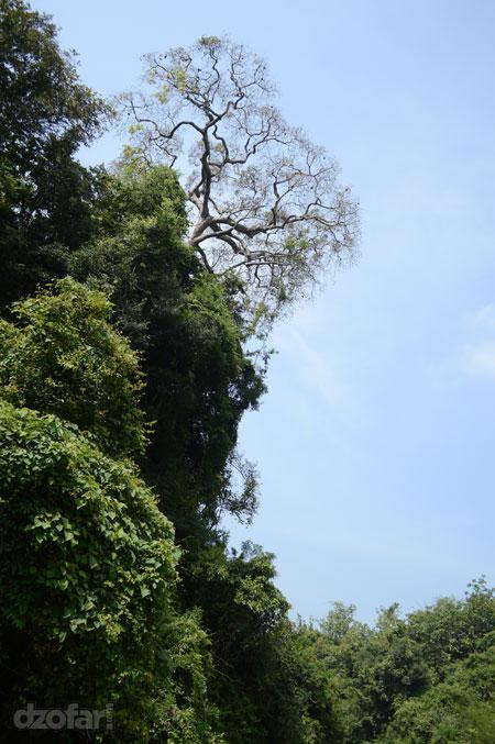 Pohon rindang nan eksotis