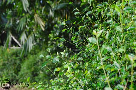 Tumbuhan hijau